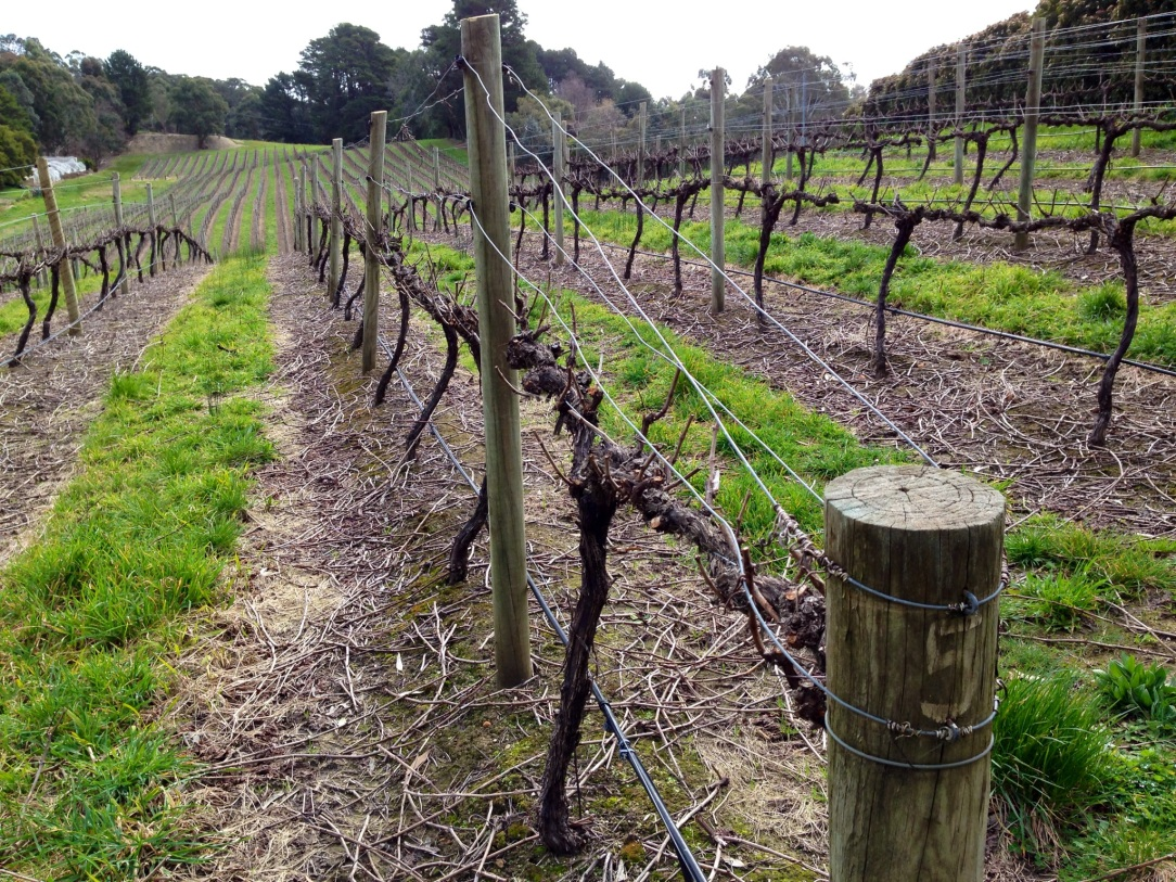 South Australian vines, Adelaide Hills