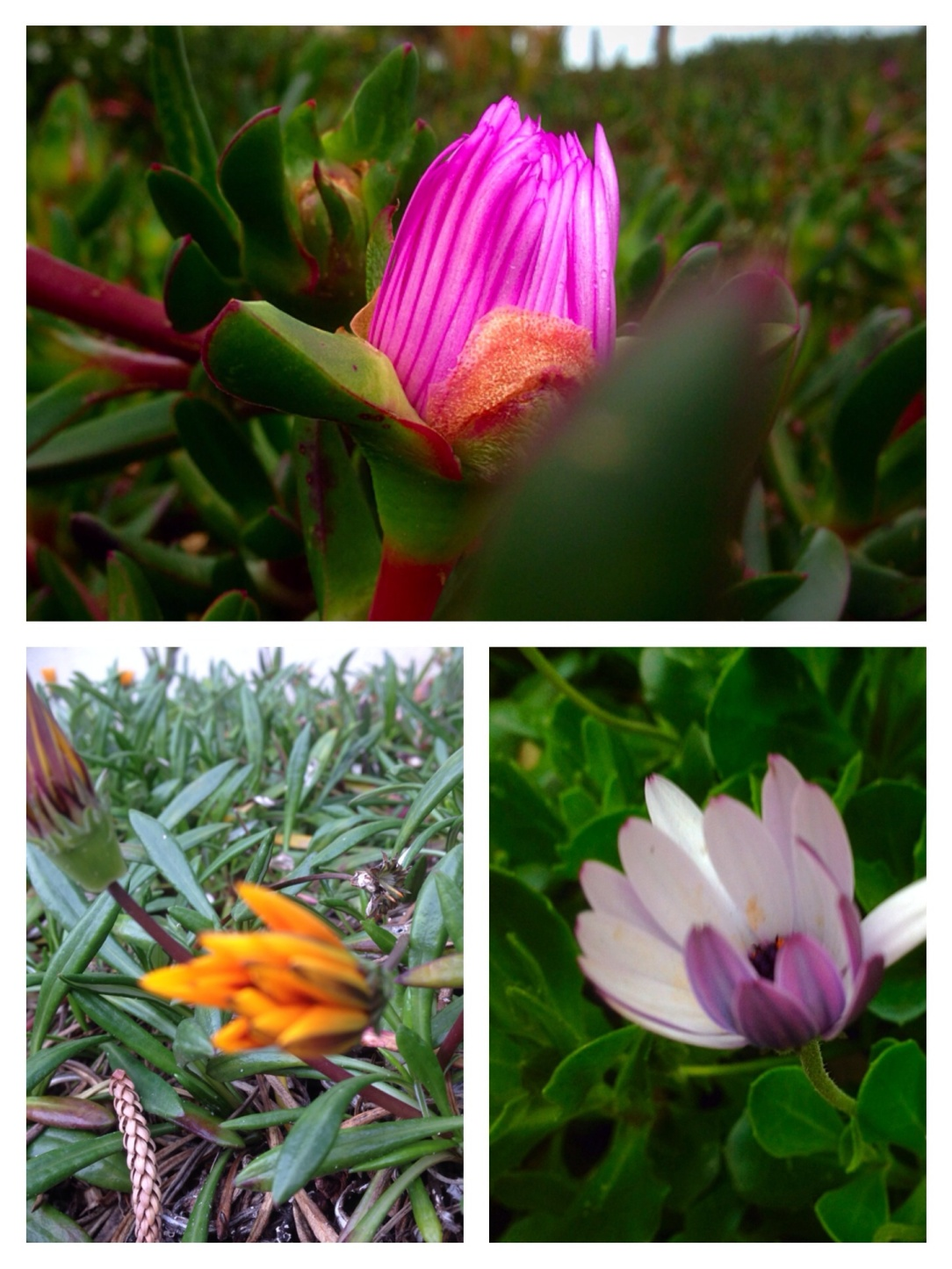 Spring flowers, Glenelg, South Australia