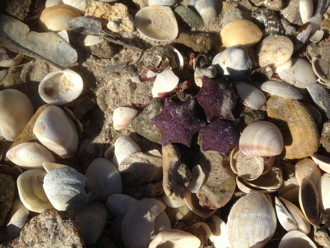Shells, purple starfish