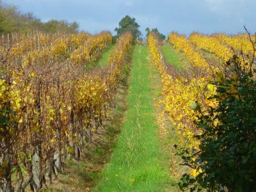 Autumn vines Yarra Valley