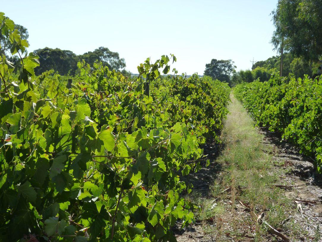 barrosa vines