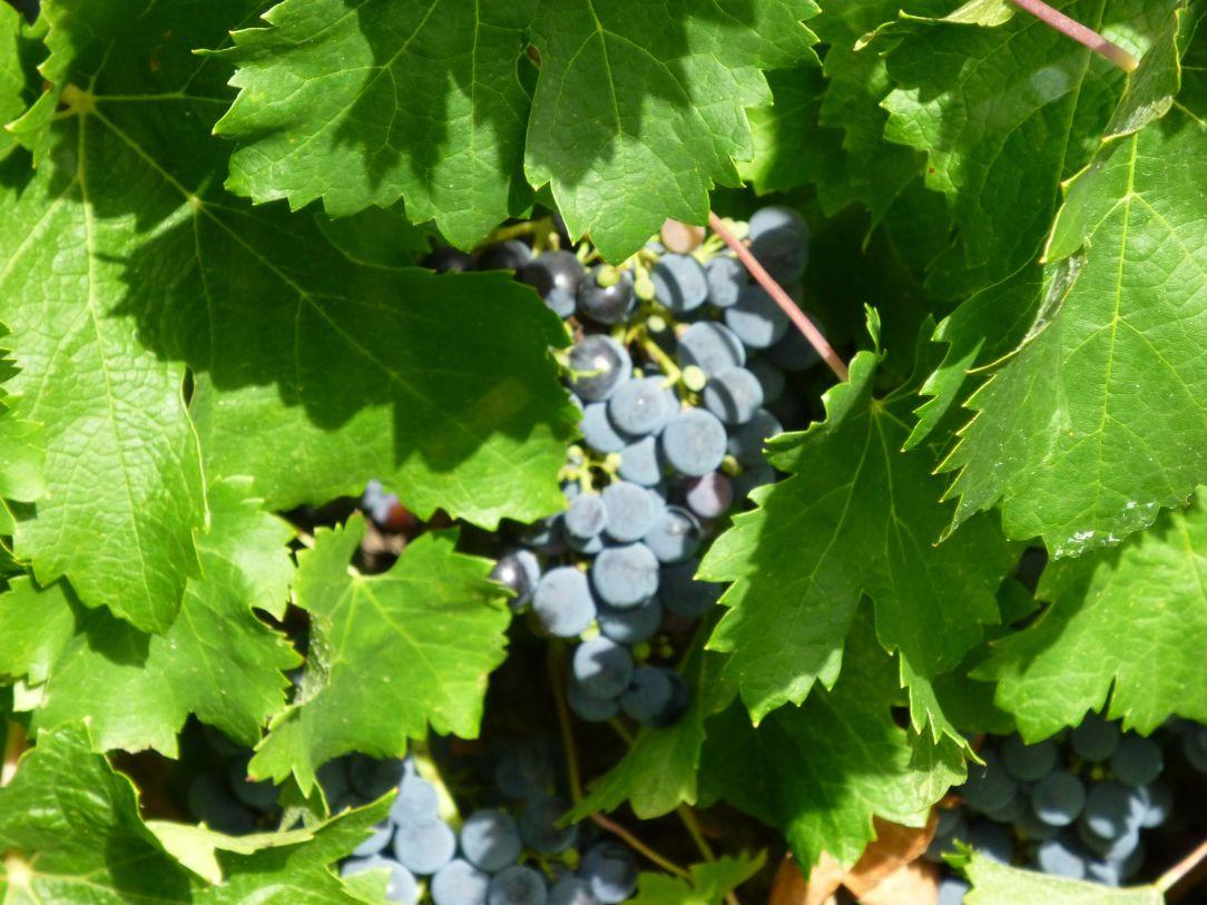 Clare grapes