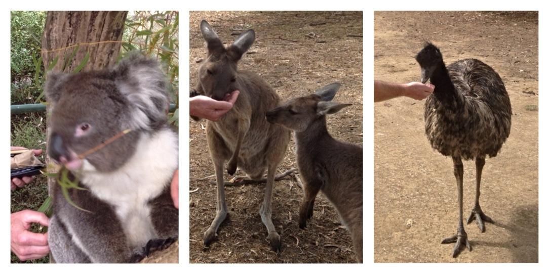 Emu, kangaroo, Koala, Cleland Wildlife Park, Adelaide